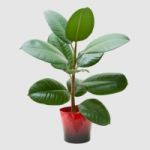 http://localhost/femeia/wp-content/uploads/2012/03/21/ficus-150.png