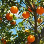 10 motive pentru care trebuie să mănânci portocale