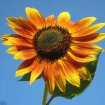 Beneficiile semintelor de floarea soarelui