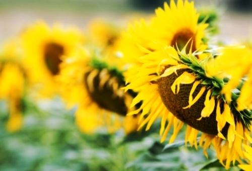 http://localhost/femeia/wp-content/uploads/2014/06/02/beneficiile-semintelor-floarea-soarelui-4.jpg
