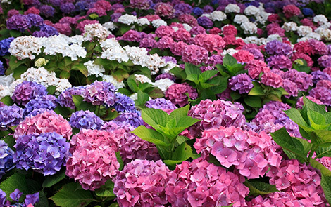 http://localhost/femeia/wp-content/uploads/2015/02/19/plante-hortensii.jpg