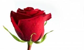 trandafirului