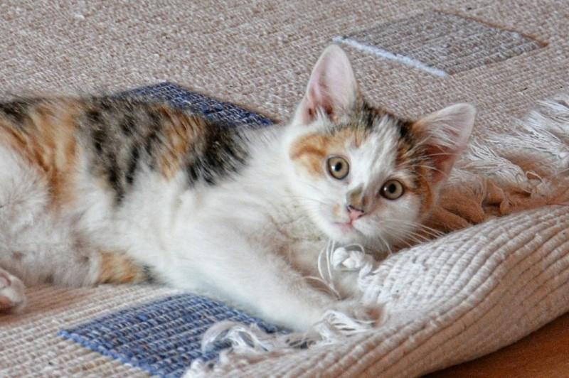 pisica pe covor