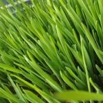 Cura cu grâu verde reface sângele