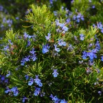 Beneficiile ceaiului de rozmarin