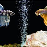 Betta, peștele luptător