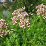 Valeriana, planta care aduce linistea si somnul