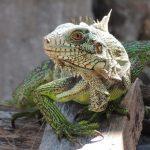 Un companion cu sânge rece: iguana