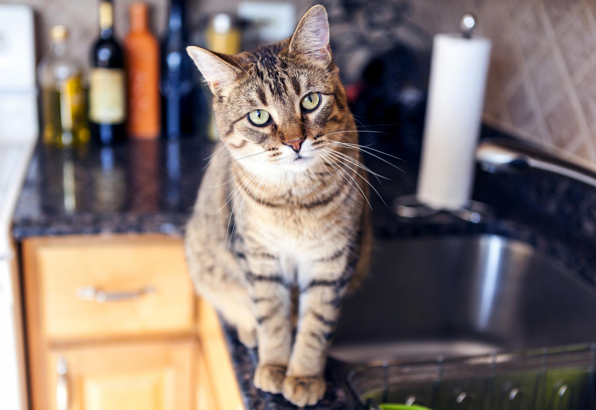 pisica se urca pe masa