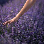 Aurul violet - florile de lavanda. Cateva sfaturi, utilizari si o reteta