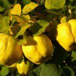 Secrete de... GUTUIE. Un fruct minunat, insuficient lăudat!