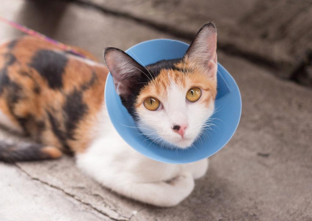 sterilizare pisica