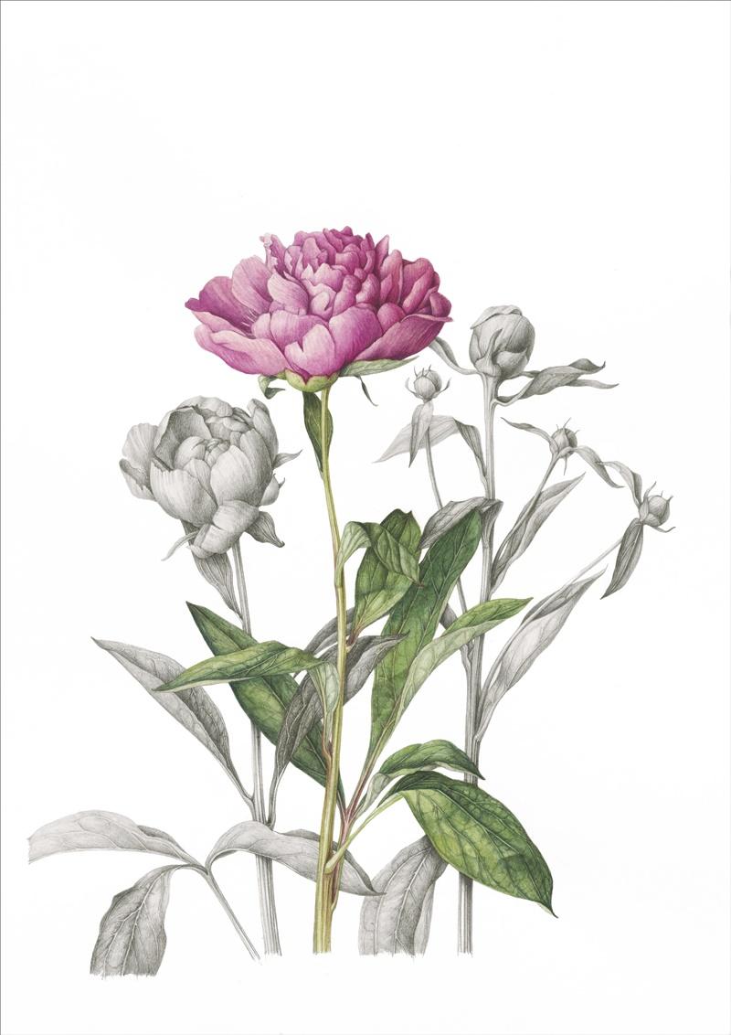 bujori roz art print